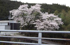 東吉野村 桜